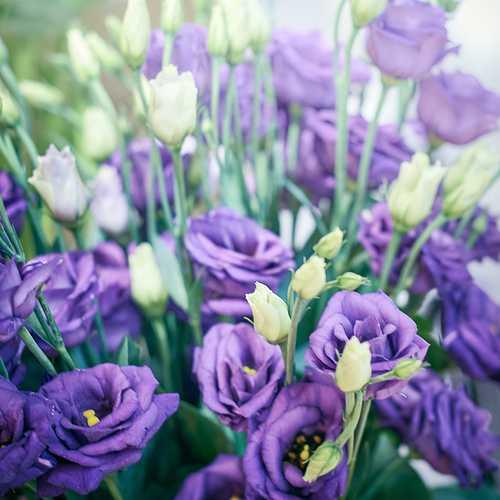Lysianthus violet 0