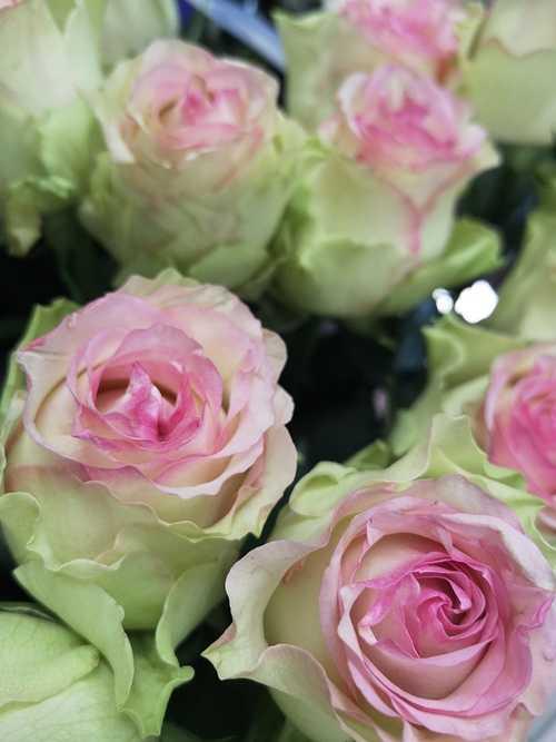 Rose rose 0