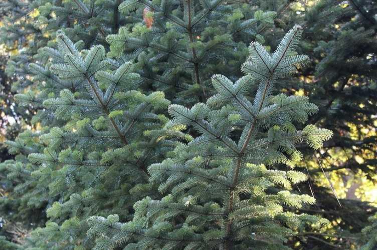 Pensez à votre sapin de Noël sapin-de-nordmann