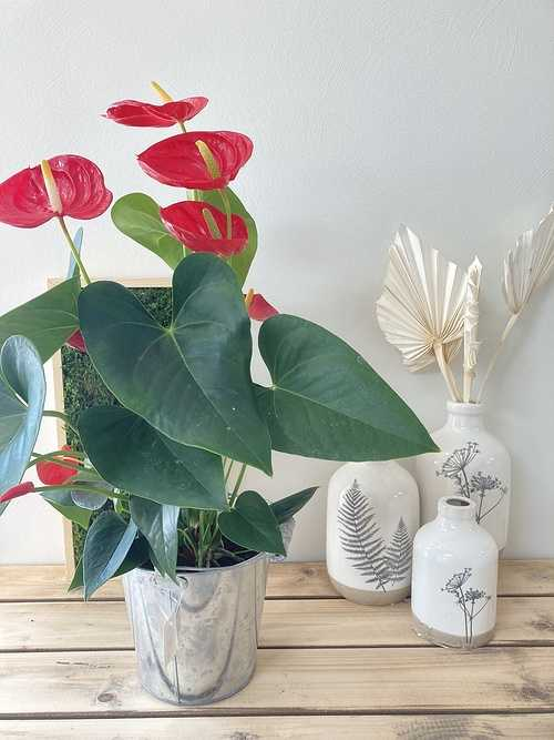 Anthurium rouge 0