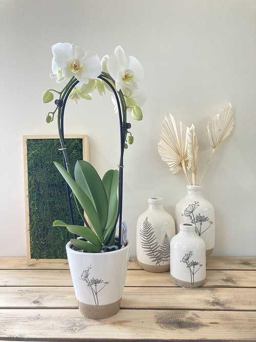 Phalaenopsis cascade 0