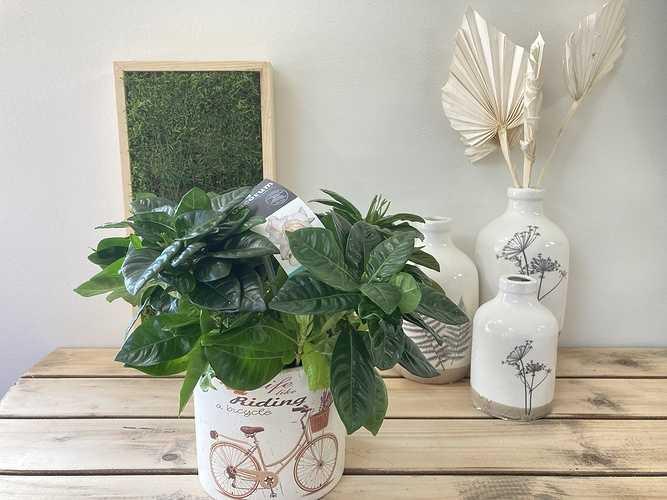Gardenia 0