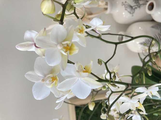 Phalaenopsis blanc photo06-07-2021100218
