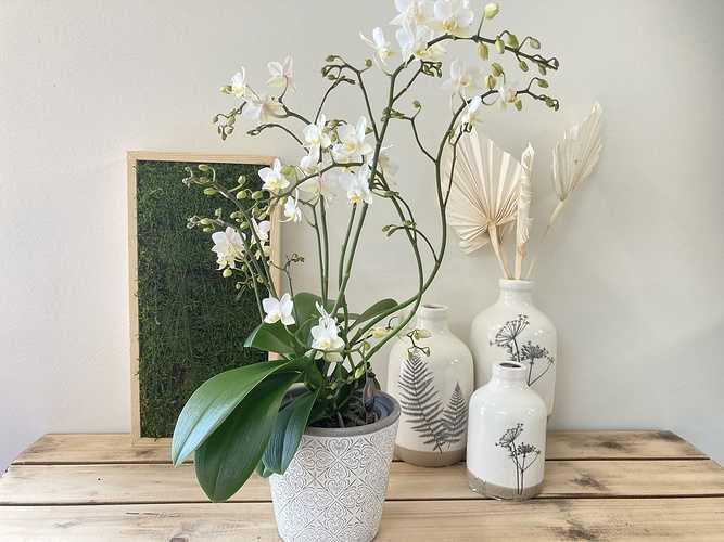 Phalaenopsis blanc 0