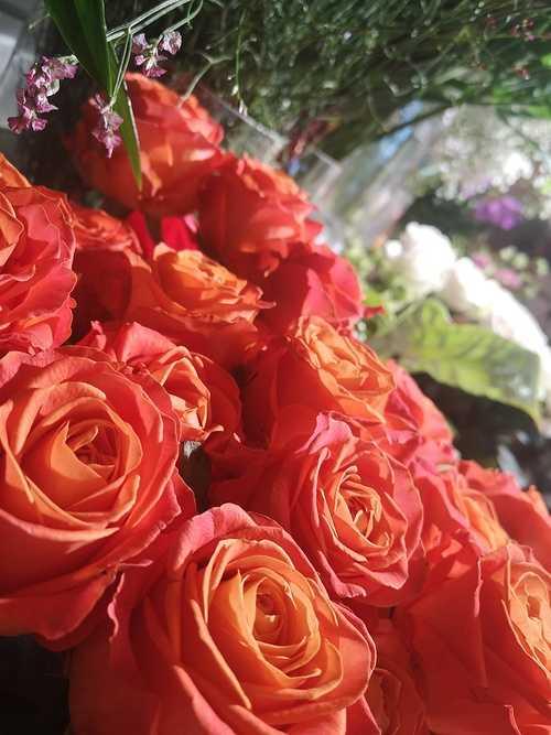 Rose orange 0